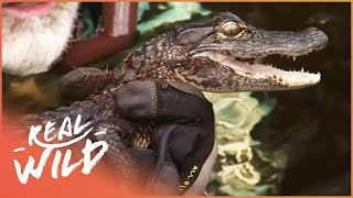 Swimming With Alligators (Wildlife Documentary) | Savage Wild | Real Wild