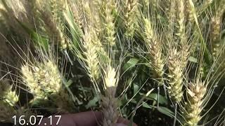 высокоурожайный сорт озимой пшеницы.  Сорт Надор. (два эпизода)