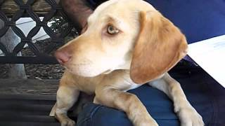 Adopted! 6 Month Old Doxie/beagle Boy W/amazing Eyes!! New To Baldwin Park Shelter.