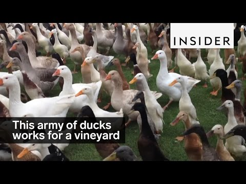 A vineyard employs 900 ducks