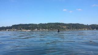 Large Male Orca Swims AT & UNDER our KAYAK!