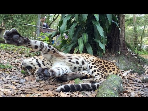 Cheetaro Leopard Has a Seizure
