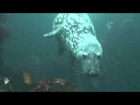 Diveworld Videos | Seal Diving, Farne Islands, 2015