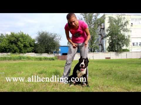 как правильно работать с ринговкой? Видео урок по подготовке к выставке (хендлинг)