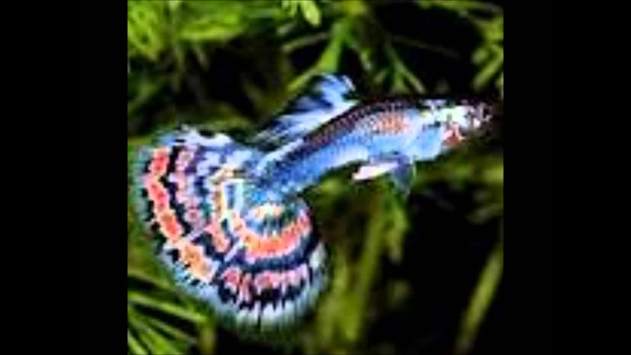 How To Tell Apart Femalemale Fancy Guppies - Youtube-8885