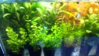 Wholesale  And Retail Live Aquatic Aquarium Plants Mumbai 9833898901