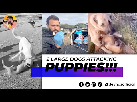DOG FIGHT PREVENTED ! 2 LARGE DOGS ATTACKING PUPPIES AT THE SHELTER REMOVED !!!