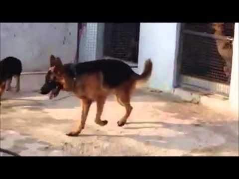 German Shepherds - Bloomfield Kennels India
