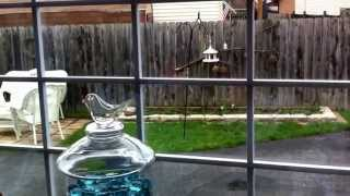 Squirrel Tries To Climb Bird Feeder Pole W/ Veg. Oil On It...not! Lol