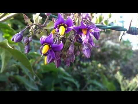 Bittersweet Nightshade (Solanum Dulcamara) - 2012-06-13