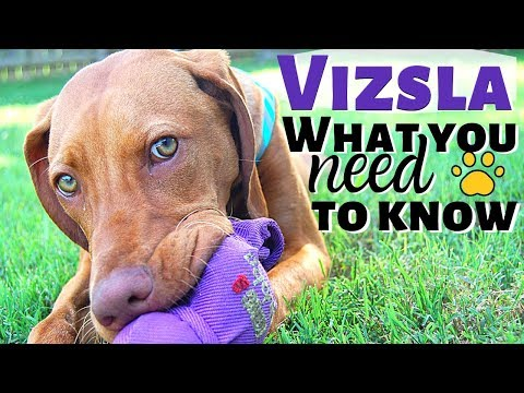 Vizsla Puppy {What You Need To Know Before You Bring Home A Vizsla}
