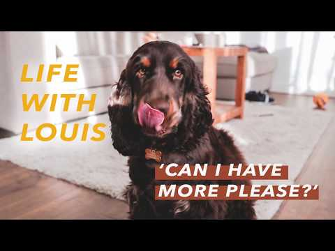 Life with Louis, the English Cocker Spaniel -  'Can I Have More?'