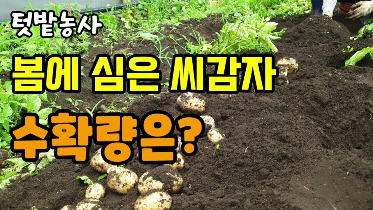 텃밭농사 봄에 심은 수미감자 수확시기가 되어 캐보았고 화분에 심은것과 땅에심은 감자의 수확량은?
