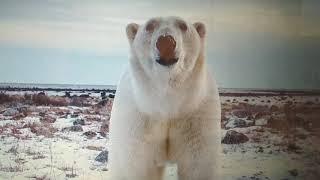 Настя белых медведя найдите картинки я вас всё расскажу мы летаем будущее