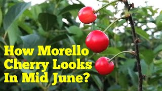 How Morello (sour) Cherry Looks Like In Early Summer
