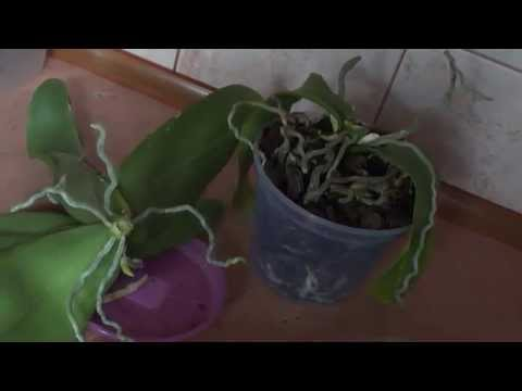 Как пересадить орхидею самостоятельно