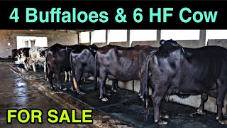 For sale ☝️ Buffaloes and Cros…
