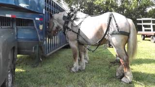Amaizing Huge Horses,Big Horses,Brabant (Belgian Heavyweights),Percheron