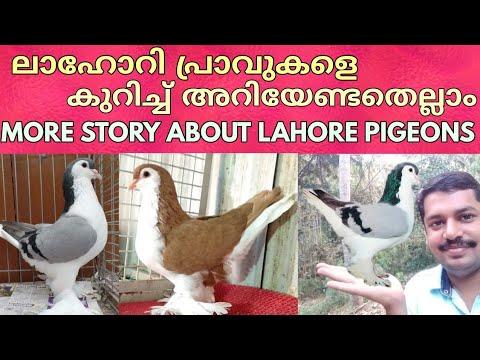 MORE STORY ABOUT LAHORE PIGEONS -ലാഹോറി പ്രാവുകളെകുറിച്ച് അറിയേണ്ടതെല്ലാം.