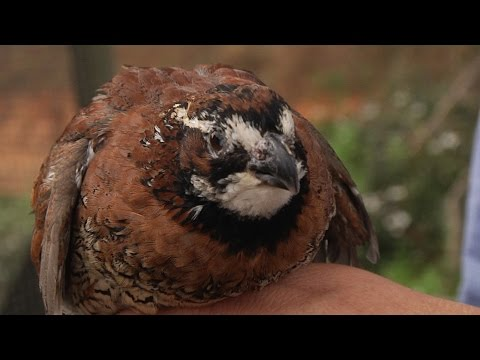 Quail Hunting And Accidental Conservation In The Red Hills