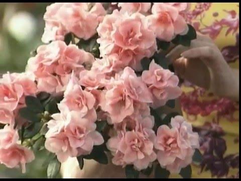 Комнатные растения и цветы Цветущие домашние растения