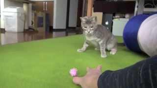 Как дрессировать кота?