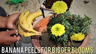 Banana Peels Fertilizer ||  Easy And Free Best Liquid Fertilizer For Any Plants