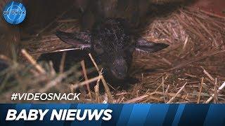 Er is een lammetje geboren! - UTOPIA (NL) 2019