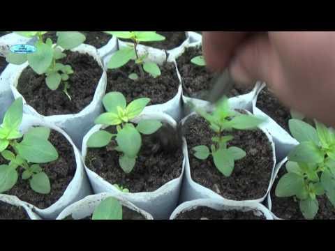 Помидоры. Выращивание томатов. Сорта и рассада, теплица и