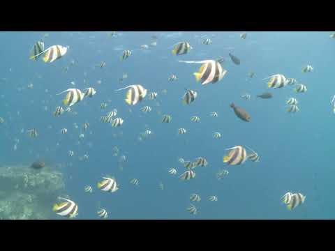 Schooling bannerfish (Heniochus diphreutes), Maldives, Indian Ocean.