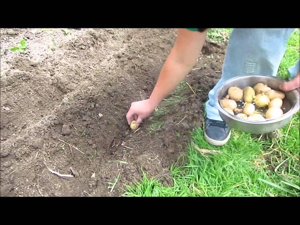 C mo plantar o sembrar papas o patatas come seminare le for Como cultivar patatas