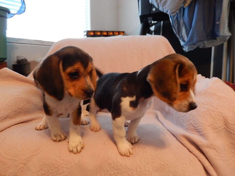 Beagle puppies lol tiny playing akc puppy miniature mini beagles beagle puppies lol tiny playing akc puppy miniature mini beagles playful for sale youtube voltagebd Image collections