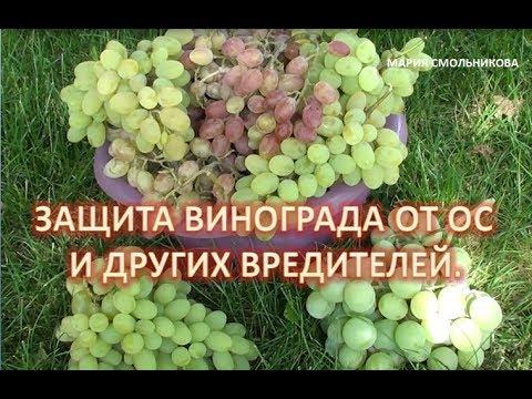 Защита винограда от ос и других вредителей .