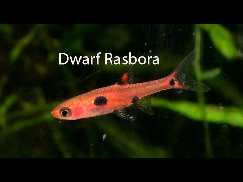 Dwarf Rasbora- the underrated cousin of the Chili rasbora ...