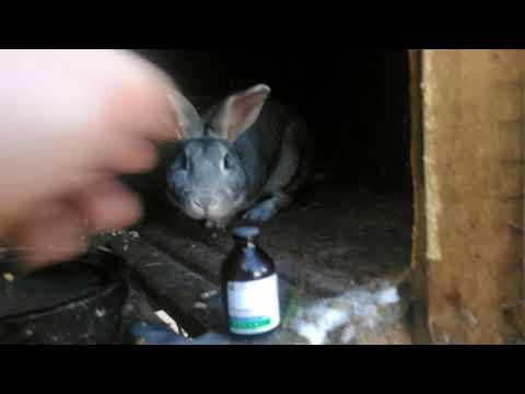 Ивермек средство от ушного клеща, блох у кроликов.