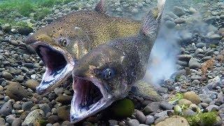 Chinook Salmon Spawning April 2019