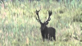 Rykowisko 2015 duży jeleń byk 22 stak