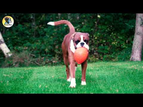 Beautiful Boxer Dog Muscles In Slow Motion