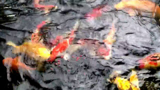 Kasih Makan Ikan Koi Udah 1 Tahun Gak Dikasih Makan Dari Desember 2016 Ke January 2017