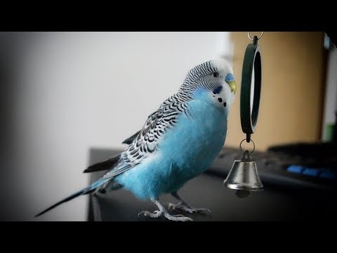 Parakeet sounds | Budgie singing to mirror