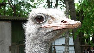 страусы видео смотреть