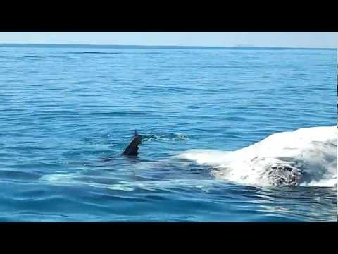 Sharks Feast On Whale - Great Keppel Island 2011 [HD]