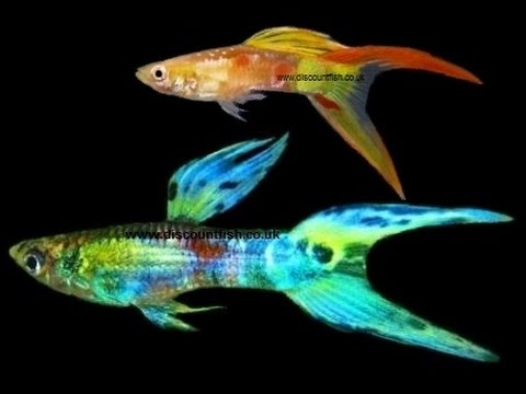 Lyretail Male Guppy - Tropical Freshwater Fish For Sale