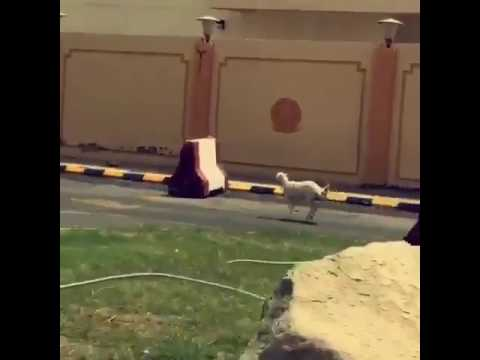 Sheep running in kuwait busy road