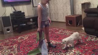 Шотландский вислоухий котенок 3,5 месяца играет с ребенком 4,5 лет