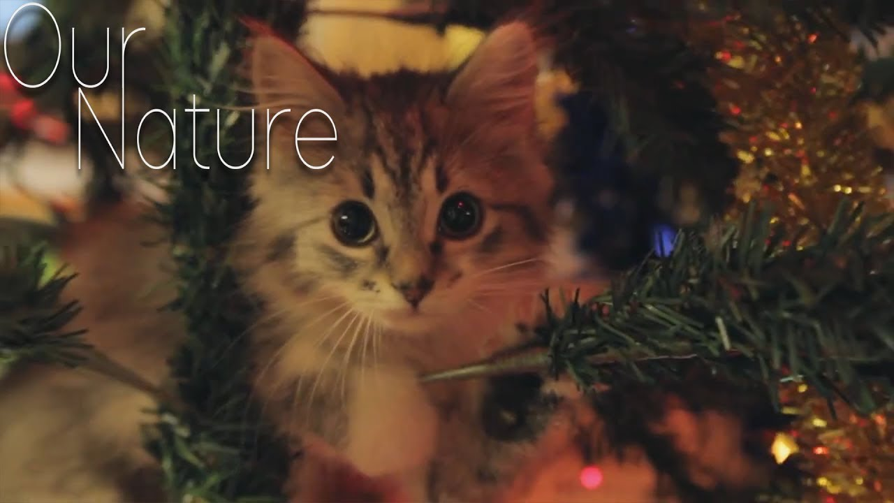 Kitten Christmas.Kitty In The Christmas Tree Kittens Playing In Christmas Trees Compilation 2017