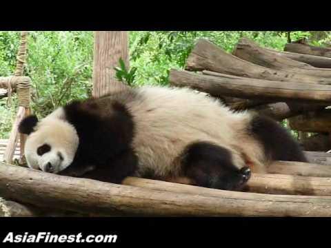 Cute Giant Panda Falling Asleep at China Chengdu Panda Zoo