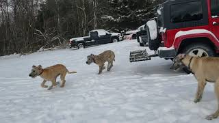 Irish Wolfhound puppies 5 months old out for their morning run