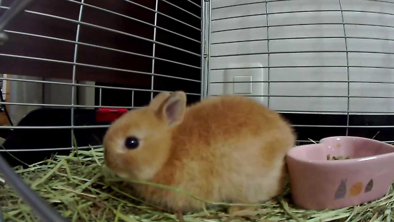 Cute Baby Bunny Rabbit Hop Hop Hopping!!Netherland Dwarf ...
