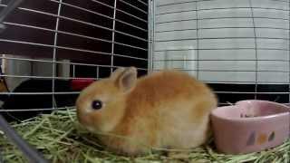 Cute Baby Bunny Rabbit Hop Hop Hopping!!Netherland Dwarf